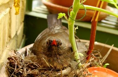 Amseln in Tomaten // NaturVision